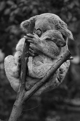 Ergobaby elástico eucalipto koala